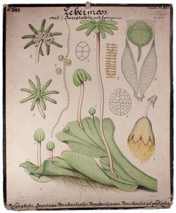 Lehrtafeln Marchantiaceae