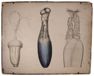 Lehrtafeln Claviceps purpurea