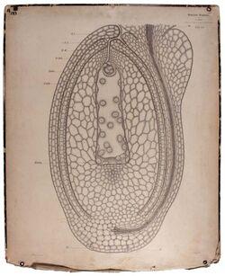 Lehrtafeln Samenanlage