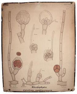 Lehrtafeln Rhodophyta