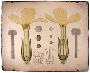 Lehrtafeln Primulaceae