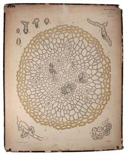 Lehrtafeln Penicillium