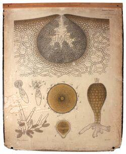 Lehrtafeln Phaeophyceae
